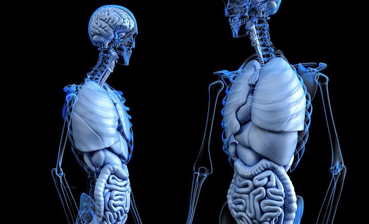 En bild på två skelett där man ser anatomin i kroppen.